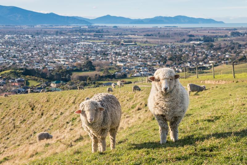 Merinofår som betar ovanför den Blenheim staden, södra ö, Nya Zeeland royaltyfria foton
