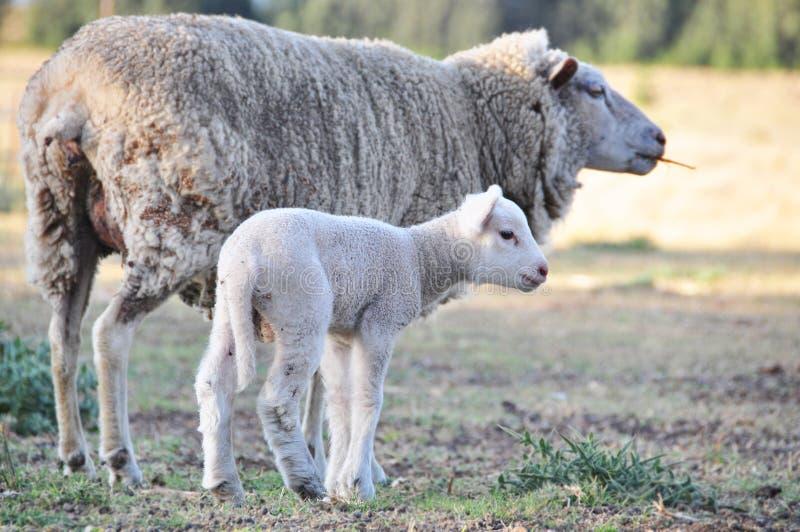 Merinos ooischapen met haar nieuw lam van de babyLente stock foto's