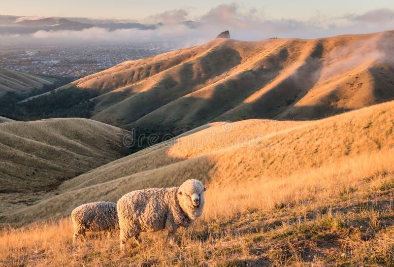 Merinosschapen die op Schoftenheuvels in Nieuw Zeeland bij zonsondergang weiden stock afbeelding