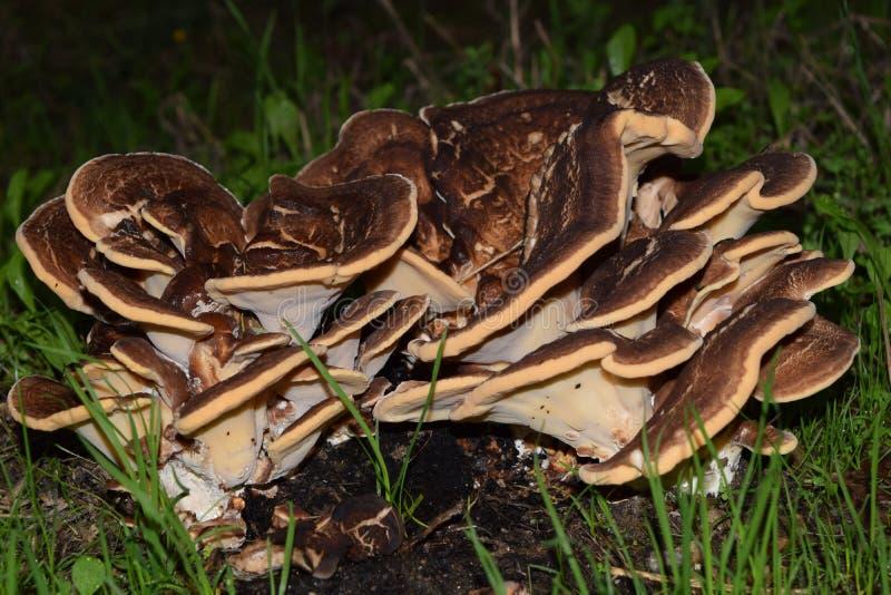 Meripilus Giganteus蘑菇 免版税库存照片