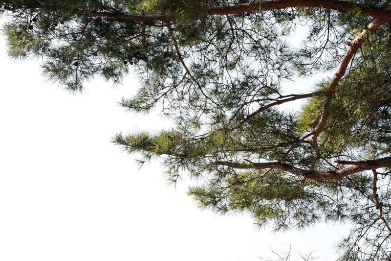 Merkusii de pinus de branche de pin d'isolement sur le fond blanc photo libre de droits