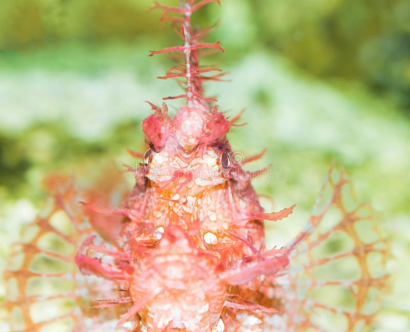 Merkwürdige Drachenköpfe im Aquarium lizenzfreies stockbild
