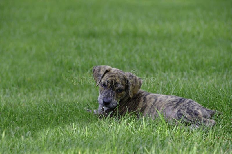Merkwaardig Leuk de Reddingspuppy van de Bergstraathond stock afbeeldingen