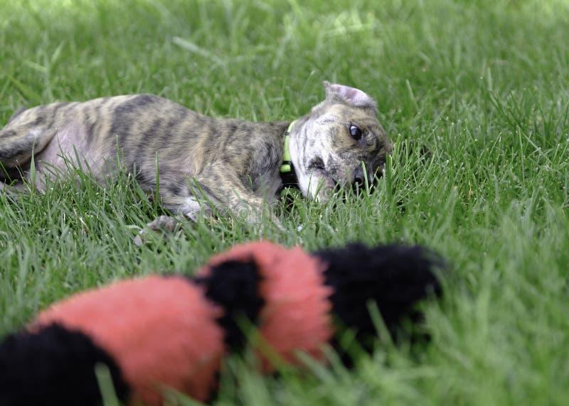 Merkwaardig Leuk de Reddingspuppy van de Bergstraathond stock afbeelding