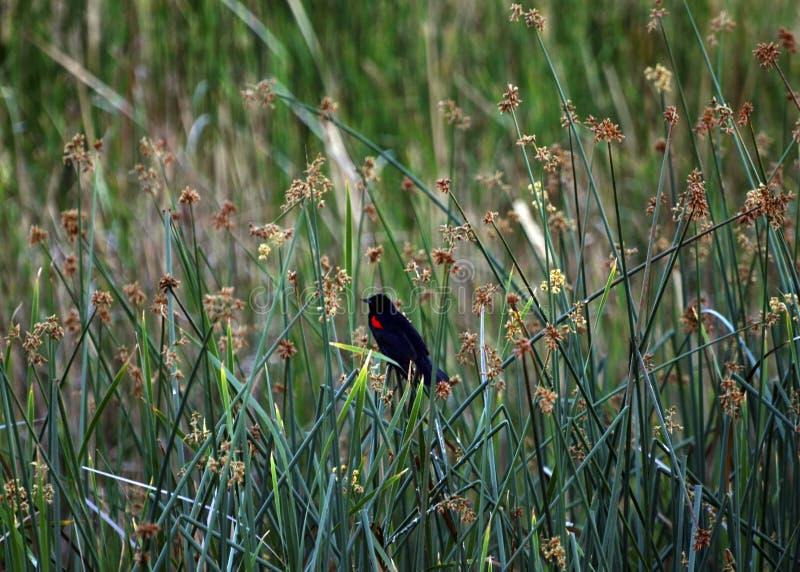Merle à ailes rouges photographie stock
