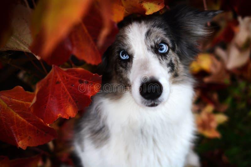 Merle bleu border collie avec les yeux bleus stupéfiants images stock
