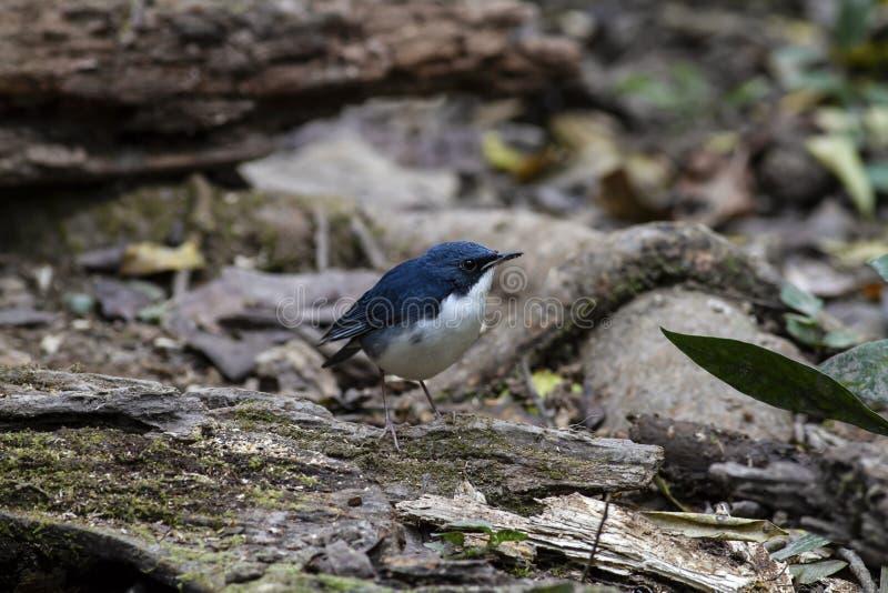 Merle bleu sibérien photos libres de droits