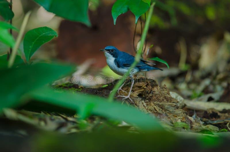 Merle bleu sibérien et x28 ; Cyane& x29 de Luscinia ; photographie stock libre de droits