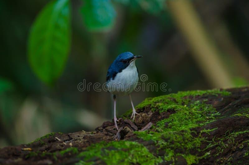 Merle bleu sibérien et x28 ; Cyane& x29 de Luscinia ; photos stock