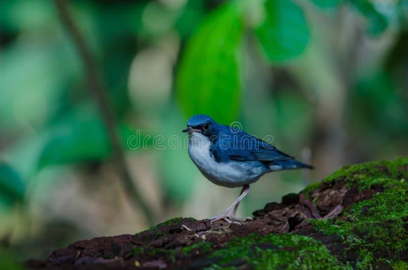 Merle bleu sibérien et x28 ; Cyane& x29 de Luscinia ; image libre de droits