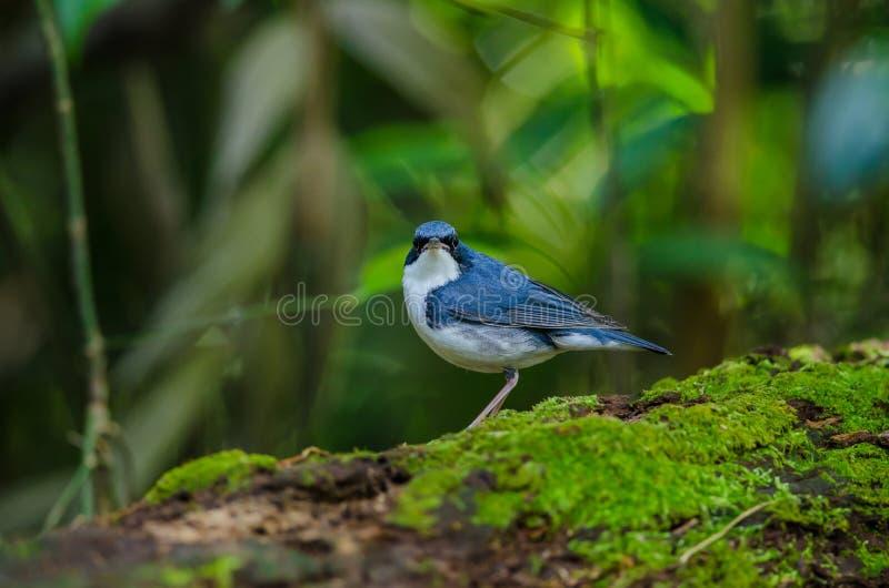 Merle bleu sibérien et x28 ; Cyane& x29 de Luscinia ; photo libre de droits