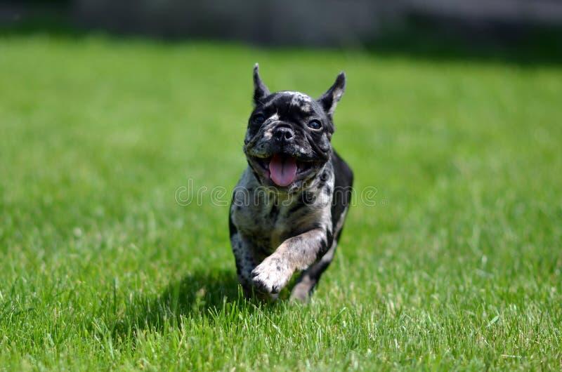 Merle French Bulldog-het puppyruning in het gras royalty-vrije stock afbeeldingen