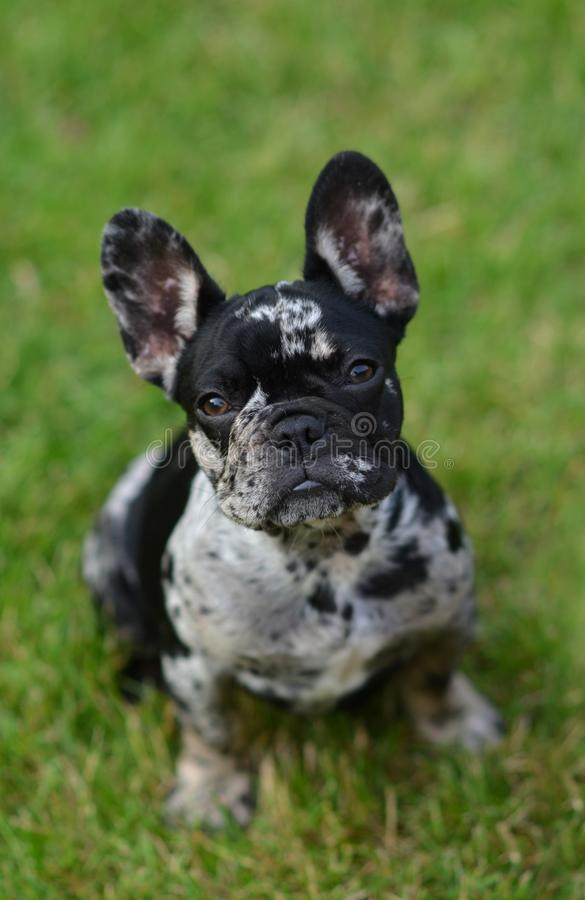 Merle French Bulldog puppy sitting in the grass royalty free stock image