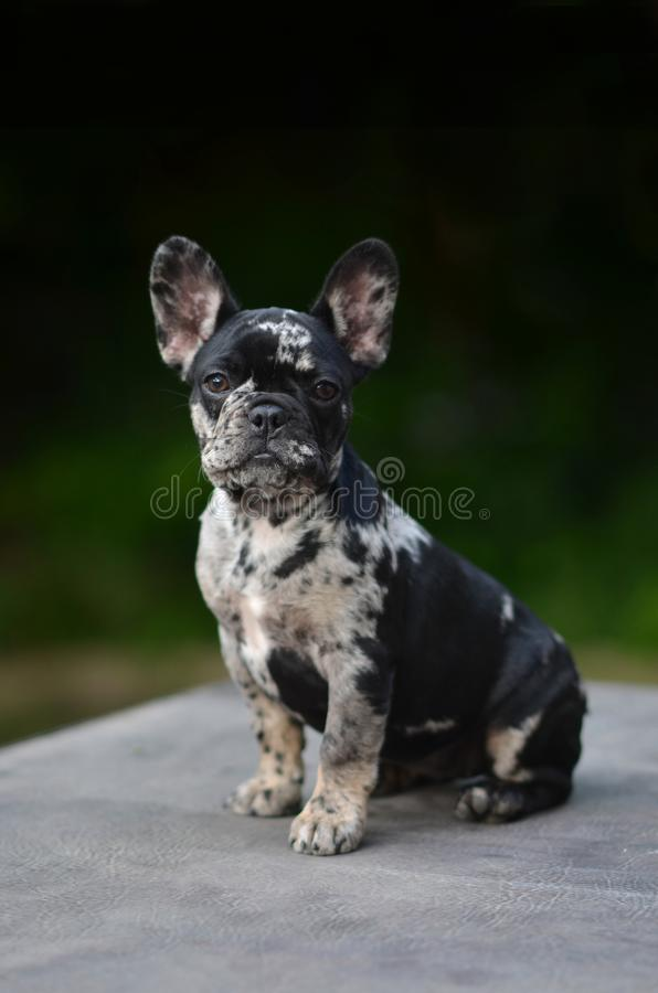 Merle French Bulldog puppyruning in the gras stock image