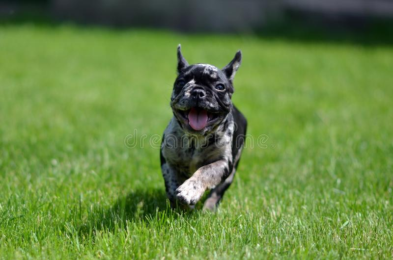 Merle French Bulldog puppyruning in the grass royalty free stock images