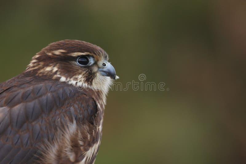 Download Merlin stock image. Image of moorland, falco, bird, raptor - 19914951