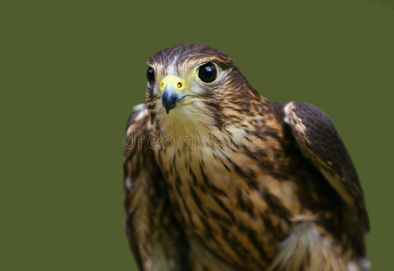 MERLIN (columbarius del Falco) con las alas levemente separadas DOF apretado imagen de archivo