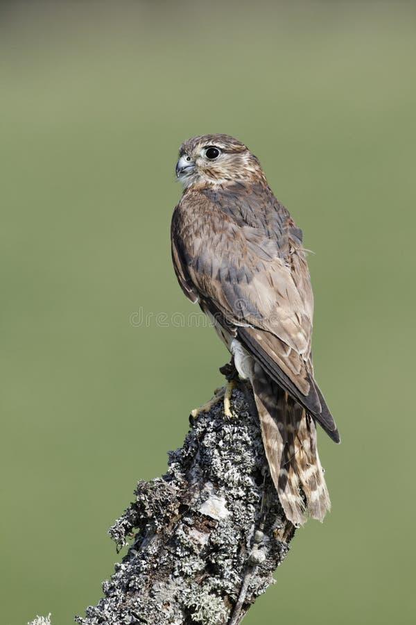 Free Merlin, Falco Columbarius Royalty Free Stock Photos - 32292368