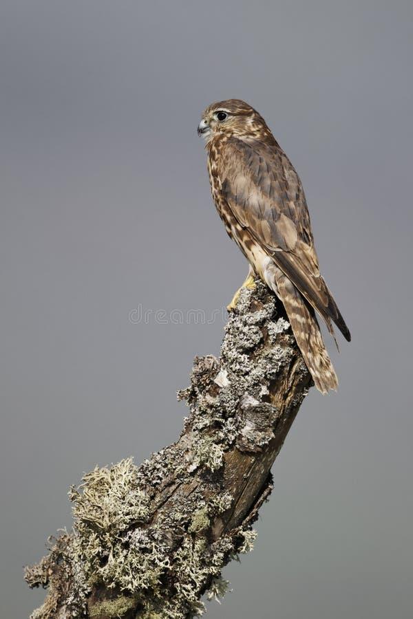 Free Merlin, Falco Columbarius Royalty Free Stock Photo - 32292395