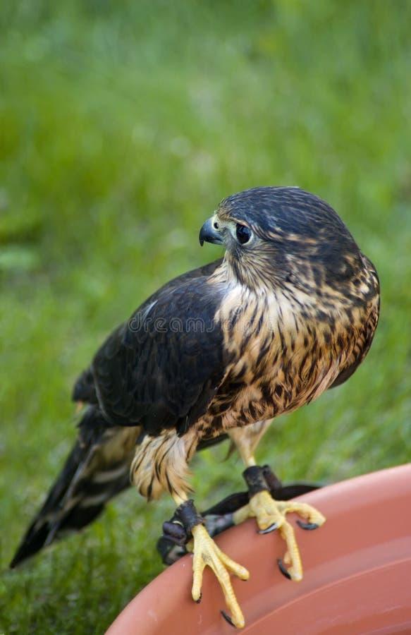 Free Merlin (Falco Columbarius) On Edge Of Water Dish Royalty Free Stock Photo - 771155