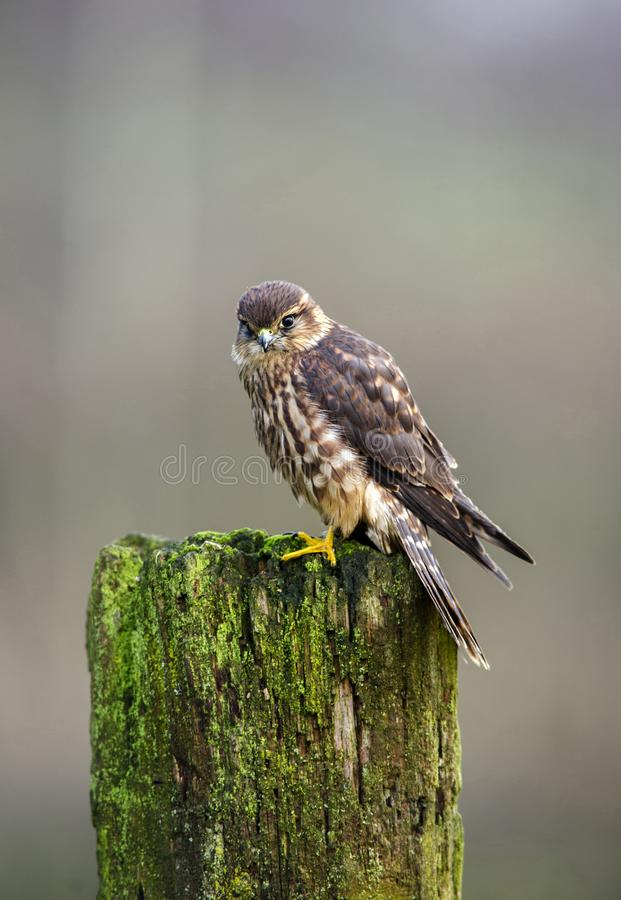 Merlin on fence post royalty free stock image