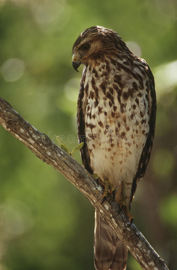 Free Merlin (Falco Columbarius) Perching On Branch Stock Images - 30848464