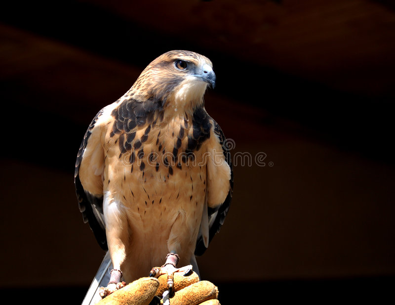 Merlin Falcon. A captured Merlin Falcon perched on his handler's gloved hand royalty free stock photography