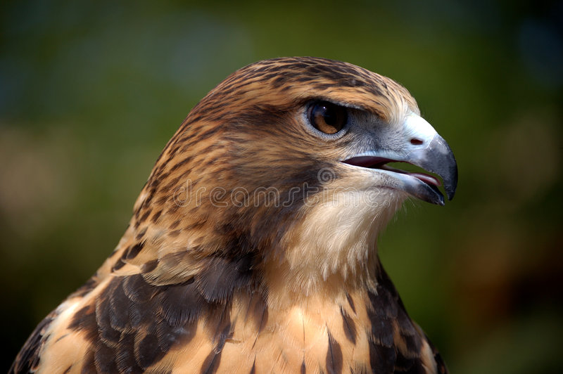 Merlin Falcon Close-Up. Close-up of a brown and tan Merlin Falcon royalty free stock image