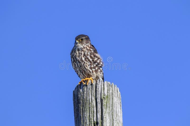 Merlin Falcon Columbarius imagen de archivo
