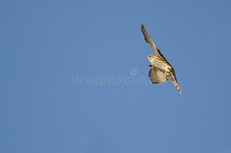 Merlin Falcon Flying In A Blue Sky Stock Photo - Image ...