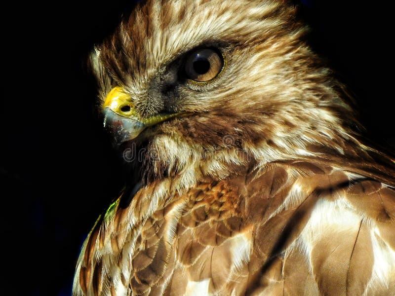 Merlin Falcon Side Portrait imagen de archivo