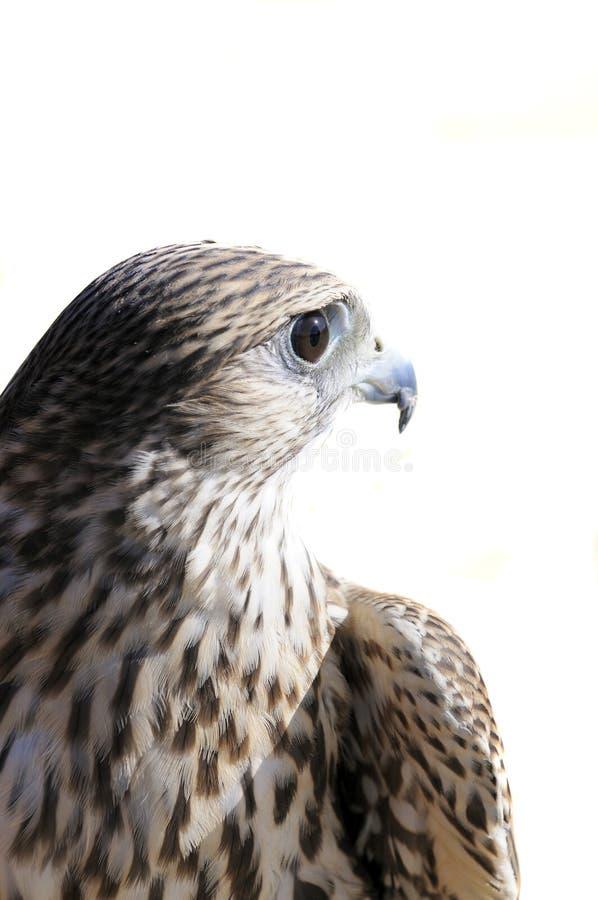 Merlin geofalcon royaltyfri bild