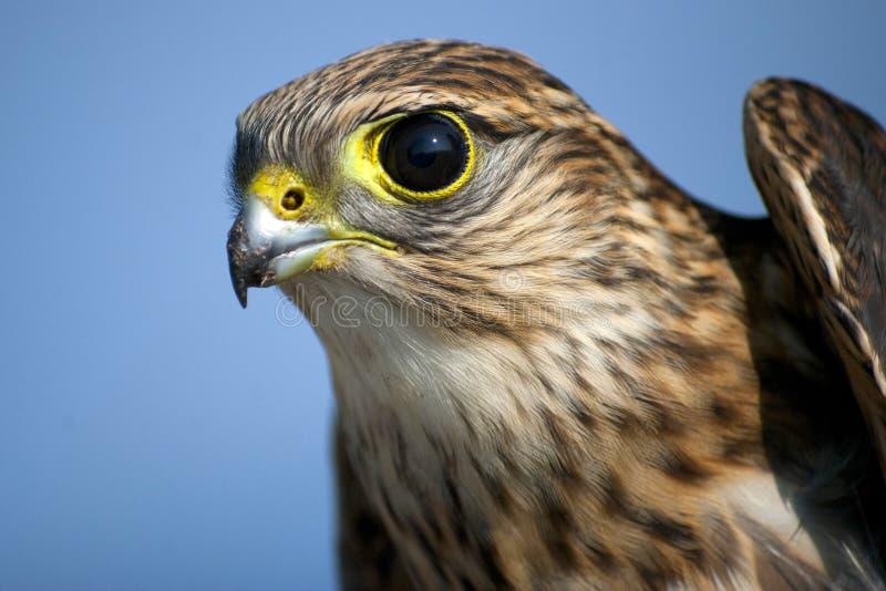 Download Merlin Hawk stock photo. Image of merlin, prey, bird - 23504230