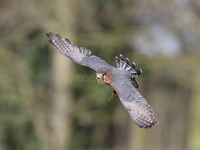 Merlin i flykten fotografering för bildbyråer