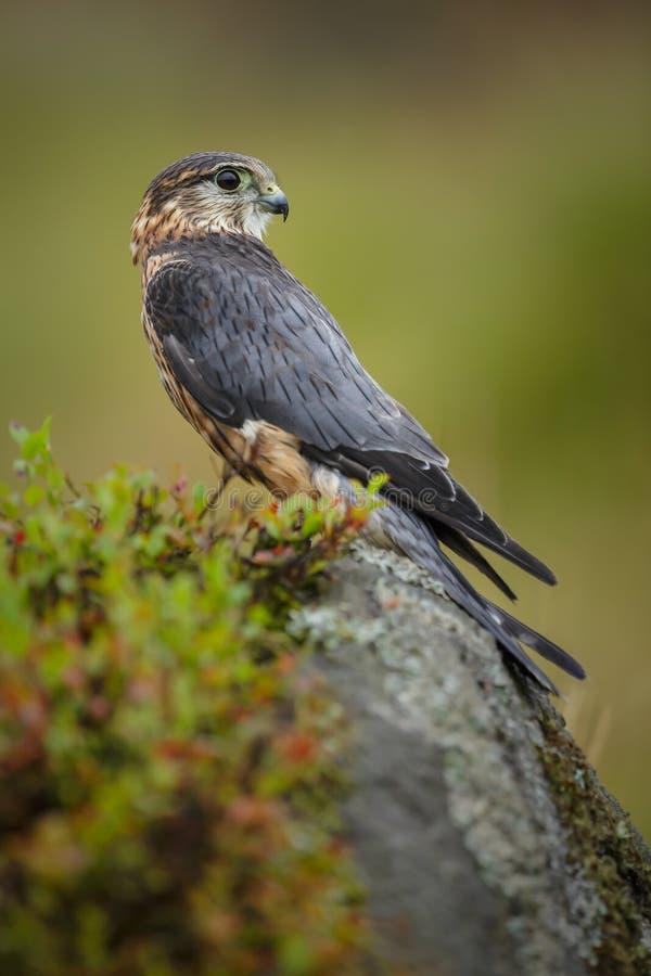 Merlin i hederna royaltyfri foto