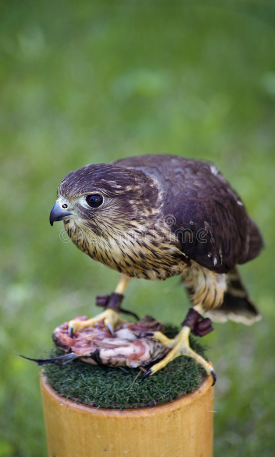 Download Merlin and Lunch stock image. Image of rest, rufous, falcon - 802747