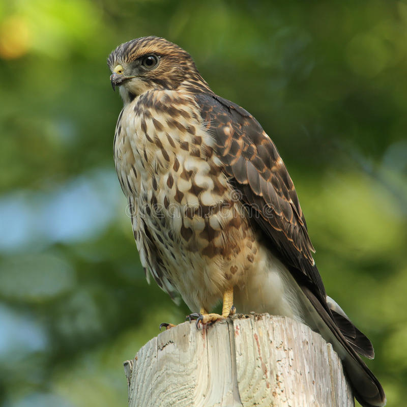 Download Merlin Perched On A Utility Pole Stock Image - Image: 25900887