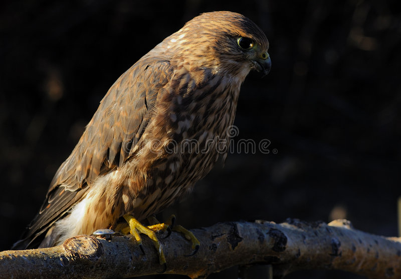 Merlin Or Pigeon Hawk Stock Images