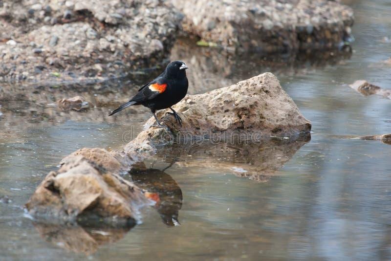 Merlo ad ali rosse maschio nella palude fotografia stock libera da diritti