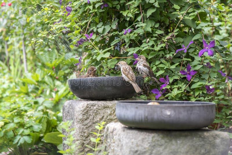 Merlo comune che prende un bagno in vecchia pentola sul giardino, due passeri del teflon che aspettano gratis bagno immagini stock libere da diritti