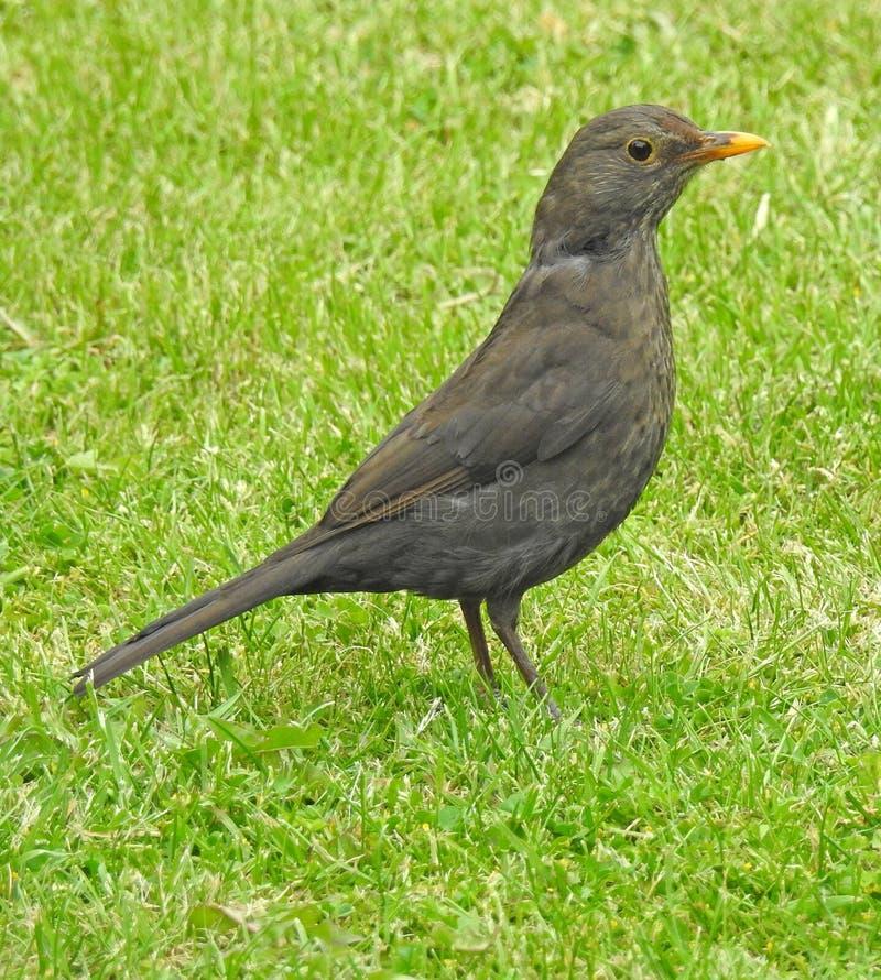 Merlo femminile britannico che cerca alimento e materiale per il nido fotografie stock libere da diritti