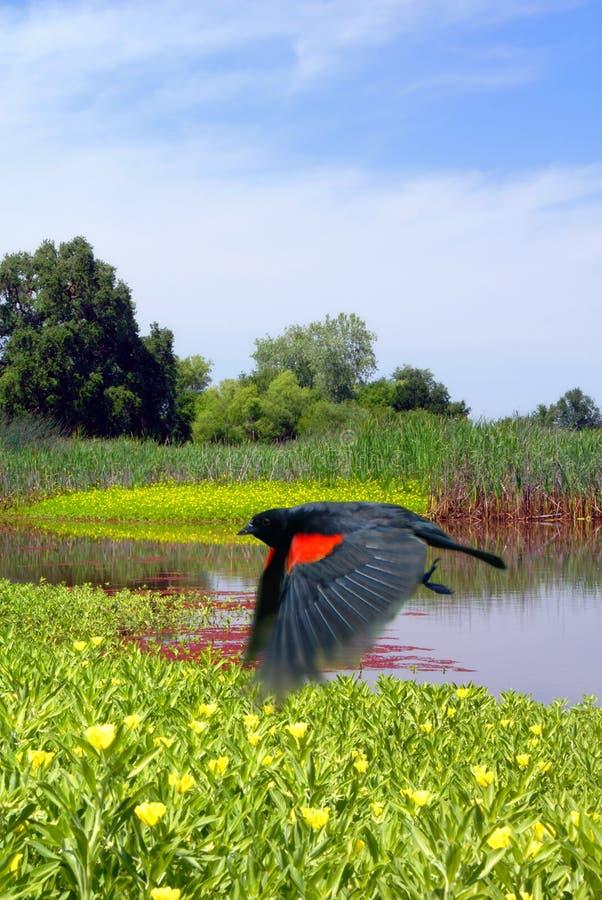 Merlo rosso dell'ala durante il volo fotografia stock