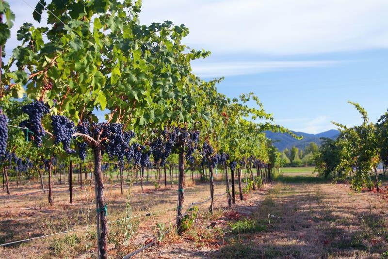 Merlot Druiven in Wijngaard royalty-vrije stock afbeeldingen