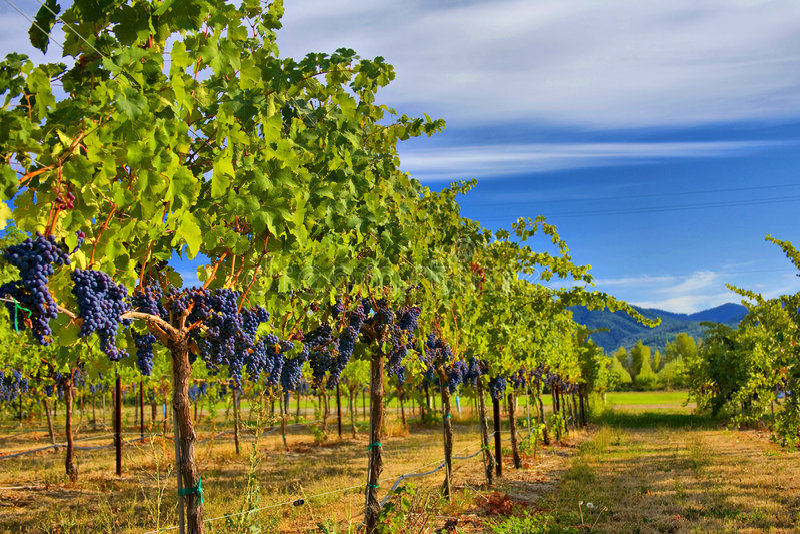 Merlot Druiven in Wijngaard HDR stock foto
