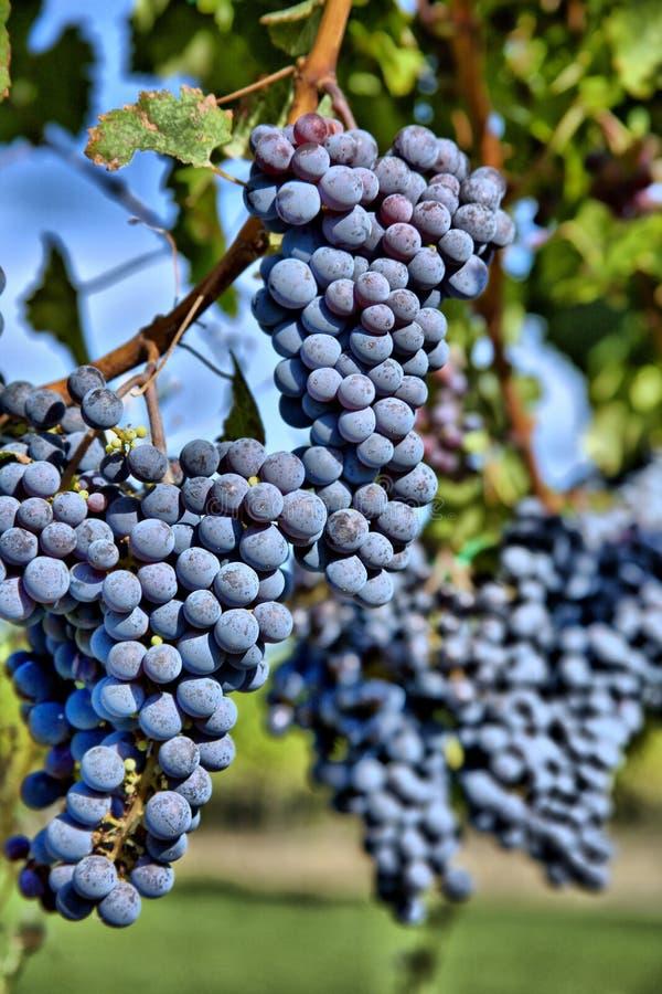 Merlot Druiven in Wijngaard HDR stock fotografie