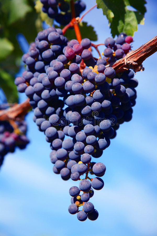 Download Merlot Grapes in Vineyard stock image. Image of grapevine - 3327527