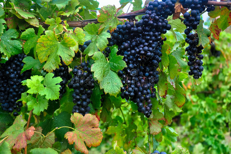 Merlot-Wein lizenzfreie stockfotografie
