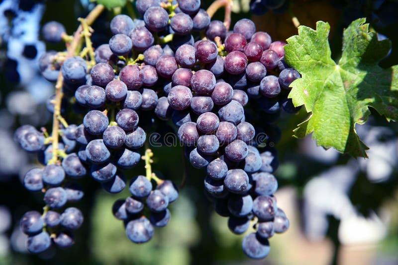 merlot winnica winogron obrazy royalty free
