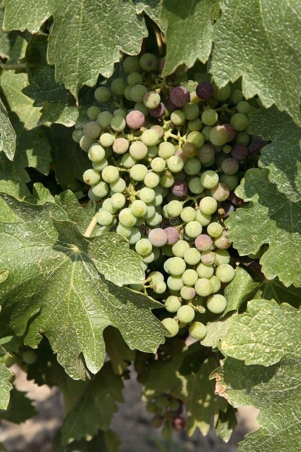 merlot winogron zdjęcia royalty free