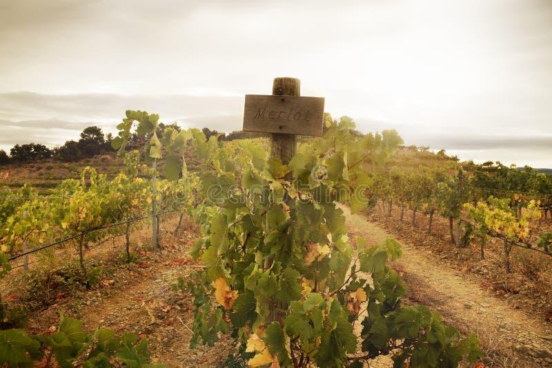 Merlot winogrona przy winnicą fotografia stock